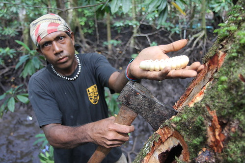 Large worms in mangrove timber in Malaita, Solomon Islands. Photo by Wade Fairley, 2012.