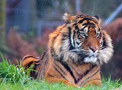 Big Mog (DaveGrant) Tags: wildlife tiger sumatrantiger westmidlandssafaripark