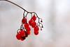 simplicity (Sam Mendolia Photography) Tags: red berries ravine cedarvale