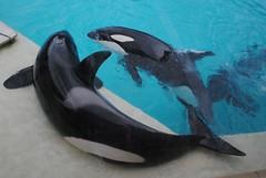 Shouka and Ikaika (EchoBeluga) Tags: san stadium diego killer whale orca seaworld shamu
