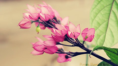 Tons (marceladsm) Tags: pink flowers light red flores flower colour macro luz nature cores de focus natural zoom natureza flor rosa boto finepix fujifilm bud cristo vermelha cor lagrimas foco hs20 clerodendron exr thomsoniae