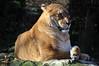 the Liger (h4mster) Tags: animal nikon tiger lion korea liger southkorea everland safariworld nikond5000