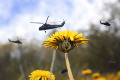 Helio-pollinators (Notkalvin) Tags: flower macro photoshop weird manipulation dandelion creation imagine imagination create helicopters digitalmanipulation pollinate manipulate project366 itisfake notkalvin pleasedonottellmeyouthinkthisisreal imadeitinphotoshop