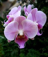 Phalaenopsis Orchid New York Botanical Garden