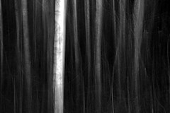birch trees (enki22) Tags: white abstract black nature natura minimalism icm intentionalcameramovement enki22