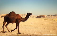 ' camel (Hessa Alharbi ||  ) Tags: camera mountain canon lens photography 50mm flickr photographer d cam pic mount h camel 600 mm 50 camels     d600     600d       hessa                     shedgum  alharbi