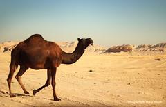 ' camel (Hessa Alharbi     ) Tags: camera mountain canon lens photography 50mm flickr photographer d cam pic mount h camel 600 mm 50 camels     d600     600d       hessa                     shedgum  alharbi