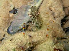 Palaemon elegans (Centro Sub Monte Conero) Tags: mar mediterraneo mare centro porto muck conero numana nord sabbia adriatico elegans sirolo gambero benthos palaemon gamberetto crostaceo
