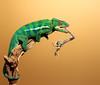 Chameleon Eats Idolomantis (scott cromwell) Tags: tongue mantis eating chameleon mantid pantherchameleon idolomantis