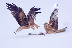 Red Kite in snow (Paul Miguel) Tags: uk winter red wild england white snow kite cold west rabbit bird nature dead european natural feeding britain wildlife yorkshire sub north eat raptor freeze british prey carrion zero