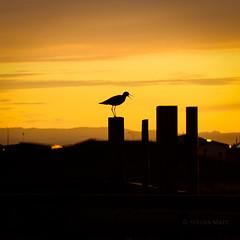 Summer Memory II (SteinaMatt) Tags: orange sun bird nature silhouette yellow matt iceland south sland steinunn suurland fuglar slsetur steina skuggamynd dralf matthasdttir