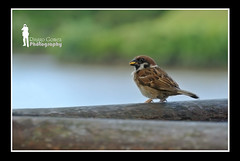 Eurasian Tree Sparrow (Ringgo Gomez) Tags: nikon 1001nights j1 topseven worldbest flickraward malaysianphotographers elitephotography perfectphotographer batterthangood sarawakborneo corcordians 1001nightsmagiccity flickraward5 mygearandme flickrawardgallery