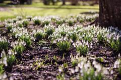 Snowdrops glowing in the sunshine (ZedBee   Zo Power) Tags: winter oxford snowdrops february botanics botanicgardens 50mmf14 niftyfifty