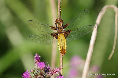 Broad-bodied Chaser Whitecross