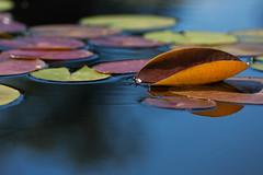 Lily Pads (mclcbooks) Tags: lilies lilypads lilypad pond reflections denverbotanicgardens colorado