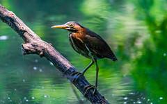 Green Heron (jason.betzner) Tags: greenheron green bird heron water pond log williamsburg virginia colonialwilliamsburg nature outdoors summer governorspalace canon rebelt3 eos