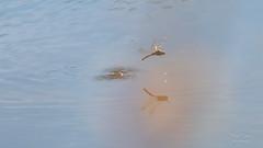 Touch, coul... (Denis-et-Alain-nature) Tags: insecte libellule symptrumsanguin femelle vol ponte reproduction lumire lumirenaturelle lumiredujour ambiance canon70d f456 55250mm eau zonehumide goutte