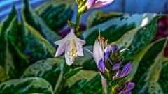 P1030293j (jmctuna) Tags: flowers green lumix purple panasonic buds hdr jmctuna fz200
