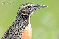 loica (Andres Vejar Fotografia) Tags: loica batuco santiago ave aves de chile hembra bird birdwatching wild wildlife