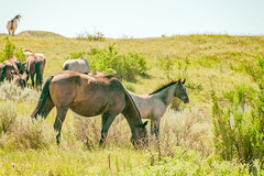 (CarbonNYC [in SF!]) Tags: medora northdakota teddyrooseveltnationalpark badlands foal grassland horse horses nationalpark roadtrip wildhorse wildhorses