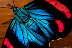 Day Flying Moth (Tom's Macro and Nature Photographs) Tags: macrophotography insects moths butterfliesandmoths day blue lepidoptera peru rainforest amazon metallic