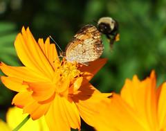 Im Watching You (kendoman26) Tags: macro closeup pearlcrescentbutterfly butterfly bumblebee flower cosmosflower fuji fujifinepix fujifinepixs1