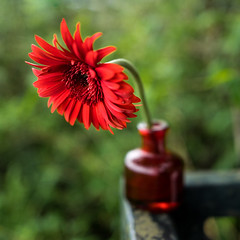 Red Aster And Red Vase (mehtasunil) Tags: red beautiful macro flower summer bokeh vase morninglight flora aster blossom wideangle 28mm leicalens leicaq leicaimages leicacamera leicaforum leicaindia leicapictures
