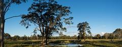 Swamp Box pano (dustaway) Tags: mongogariecreek landscape richmondvalley northernrivers nsw australia australianlandscape myrtaceae lophostemonsuaveolens swampbox tree lagoon cattle horses paddocks flats floodplain