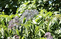 Blue Elderberry - Sambucus cerulea (tlhowes2012) Tags: flowers fruit tea wine jelly fritters analgesic antiseptic astringent diaphoretic emetic febrifuge hemostatic laxative pectoral salve stomachic tonic musical repellent tinder wood flutes skewers pegs straws