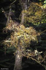 Lichen and Leaves (Scotty Rae) Tags: summer peebles scotland peeblesshire plants leaves vegetation tree lichen autumn dawyckbotanicalgardens royalbotanicalgardensdawyck