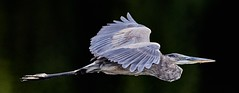 Aug 31 201610976 (Lake Worth) Tags: animal animals bird birdwatcher birds canonef500mmf4lisiiusm canoneos1dxmarkii everglades feathers florida nature outdoor southflorida waterbirds wetlands wildlife wing