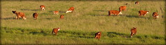 O gado pampa (Eduardo Amorim) Tags: ternero terneiro calf vaeu bezerro gado ganado cattle btail bestiami vieh vaca cow vache mucca kuh boi buey ox boeuf mue rind vacas cows vaches mucche khe bois bueyes oxen boeufs buoi rinder touro toro bull taureau stier touros toros bulls taureaux tori stiere hereford arroiogrande campo field pampa campanha brazil brsil brasil sudamrica sdamerika suramrica amricadosul southamerica amriquedusud americameridionale amricadelsur americadelsud eduardoamorim champ fronteira riograndedosul