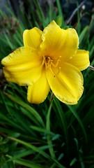 (wunderpar aka the_real_life) Tags: blume flower blte gelb yellow grn green unscharf scharf handy samsunggalaxysmartphone6