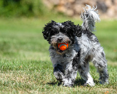 Frankie on Fetch Alert (danstambaugh) Tags: pa dog fetch chuckit farm backyard