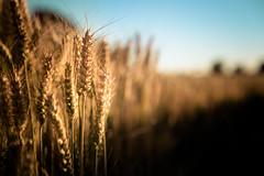 Wheat field (Zeeyolq Photography) Tags: agricultures bretagne champdebl field flour food france harvesttime nature saisondelamoisson wheat milizac