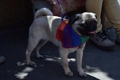 (BaphomeToro) Tags: pug dog diversity