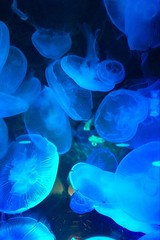 Sea Life (mwmw4188) Tags: blue japan sealife tokyo jellyfish aruarium seacreatures
