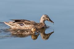 IMG_7610-Edit (ben.roberts999) Tags: bird duck duckling mallard nv reno usa wildlife