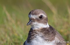 Ringed Plover - Juvenile (Lee Hudson photography) Tags: ringedplover charadriushiaticula leehudson bird britishwildlife