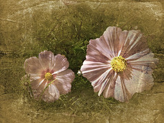Nature never did betray the heart that loved her.... William Wordsworth (Nick Kenrick.) Tags: cosmos pink