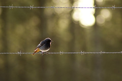 Rouge-queue (Photambule) Tags: nature birds sony oiseaux redstart rougequeue