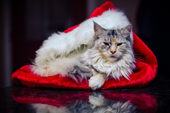 Christmas Kitty (Nicholas Erwin) Tags: santa christmas pet holiday hat animal cat reflections nikon feline flash maine kitty card coon claus nikkor 18 50 speedlight strobe ziva d7000 sb700