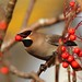 Waxwing 2 Notts WT cpt Margaret Holland