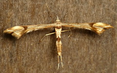 Plume Moth, Pterophoridae (Ecuador Megadiverso) Tags: naturaleza macro southamerica nature fauna butterfly insect ecuador wildlife natur moth lepidoptera papillon inseto pterophoridae equateur makro mariposa insekt arthropoda insetto insecte schmetterling equador biodiversity arthropod insecto falena insecta biodiversidad polilla motte quateur plumemoth sdamerika neotropical neotropics taxonomy:class=insecta taxonomy:order=lepidoptera      andreaskay