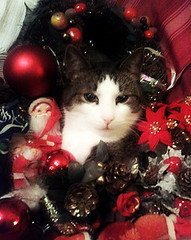 Robin celebrating with stars and flowers.. (Per Ola Wiberg ~ powi) Tags: cats pets robin animals december sweden lucia 2012 katt coolanimals catfriends eker wrangels dazzlingshots catsuluv