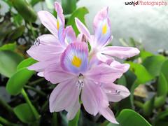Bunga Eceng Gondok, beautifull (Wahid M Alfian) Tags: flower macro canon beautifull a2300