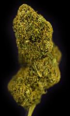 SBc (Symic) Tags: plant green golden amber leaf stem weed sticky grade smell oil bubba hybrid sour fruity hash cannabis medicinal vac dank butane bho nug purged nugporn turpene