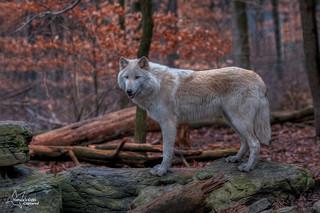 Lakota Wolf