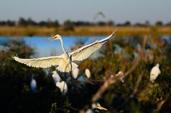 "Great White Egret in Okavango Delta, Botswana • <a style=""font-size:0.8em;"" href=""https://www.flickr.com/photos/21540187@N07/8293290511/"" target=""_blank"">View on Flickr</a>"