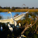 "Great White Egret in Okavango Delta, Botswana • <a style=""font-size:0.8em;"" href=""https://www.flickr.com/photos/21540187@N07/8293290511/"" target=""_blank"">View on Flickr</a>"